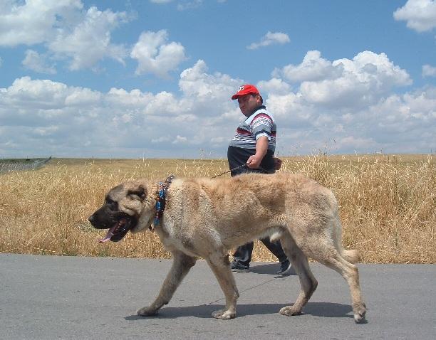 sivas kangalı