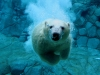 kutup ayısı
